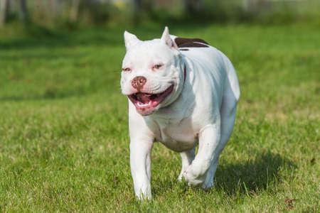 American Bully puppy dog in move on grass Archivio Fotografico