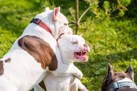 Two American Bully puppies dogs are playing