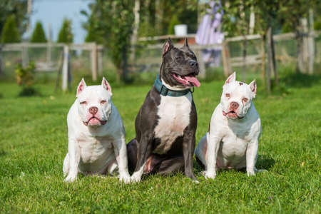 Two American Bully puppies and American Staffordshire Terrier dog