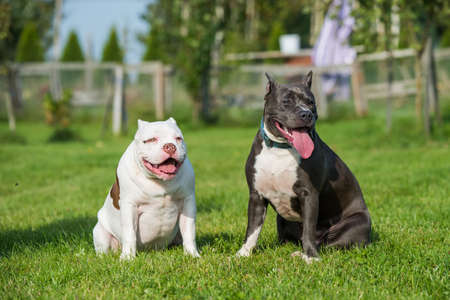 American Bully puppy and American Staffordshire Terrier dog