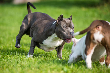 American Bully puppies and American Staffordshire Terrier dog Archivio Fotografico