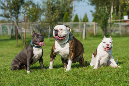 Three dogs American Bully puppy, American Staffordshire Terrier and American Bulldog