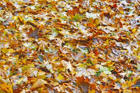 Fallen Wet yellow maple leaves lie on the ground
