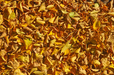 Fallen yellow dry leaves on the ground. Top view 免版税图像
