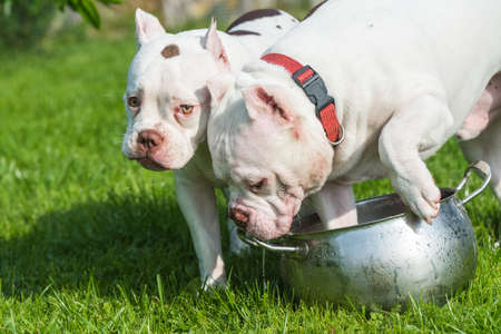 Two White American Bully dogs are drinking water