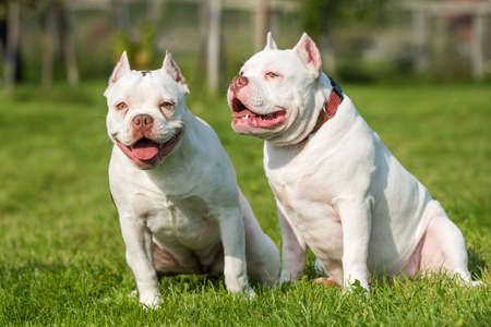 Two American Bully puppies dogs are sitting