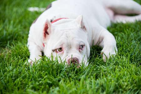 American Bully puppy dog lies on green grass Archivio Fotografico