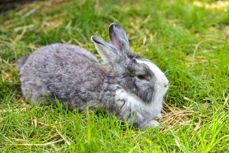 Gray bunny rabbit hare sitting on green grass.