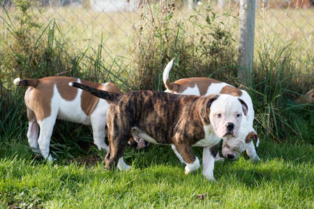 Three American Bulldog puppies dogs are playing