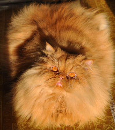 Fat red Persian cat laying on the floor 版權商用圖片