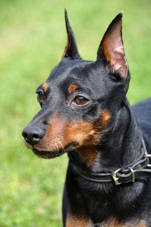 Black and brown tan miniature pinscher dog closeup Imagens