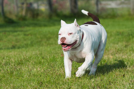 American Bully puppy dog in move on grass 스톡 콘텐츠