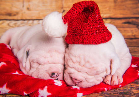 Two Funny American Bulldog puppies dogs santa hat