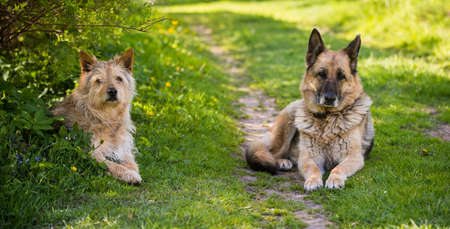 Two mixed breed dogs is sitting on the road 版權商用圖片 - 159673396