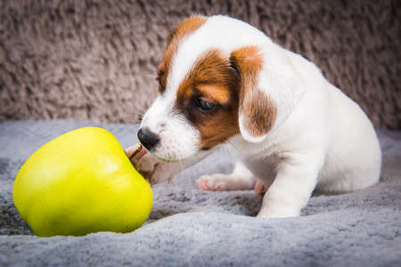 Jack Russell Terrier dog puppy and yellow apple 版權商用圖片 - 159673399