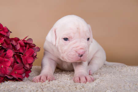 Small white American Bulldog puppy dog and flowers 版權商用圖片 - 159285910