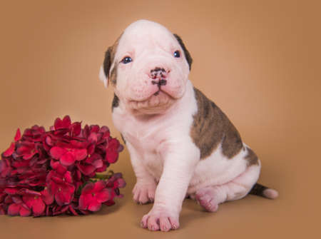 Small brindle American Bulldog puppy and flowers