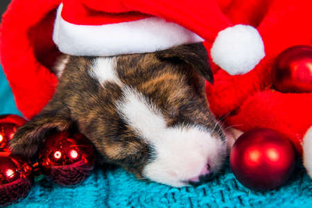 Funny Basenji puppy dog in santa hat and red balls 版權商用圖片 - 159285922