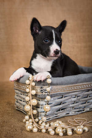 Basenji puppy is sitting in a wooden basket 版權商用圖片 - 159285923