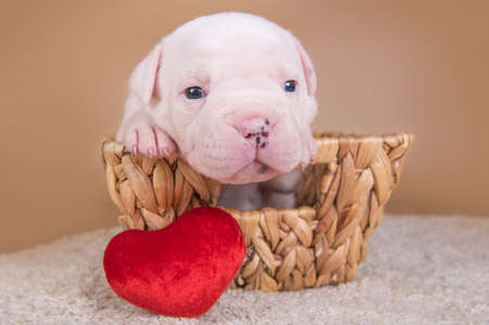 American Bulldog puppy dog in a basket with heart 版權商用圖片