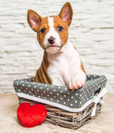Funny red Basenji puppy dog in the basket with red heart 版權商用圖片 - 159285929