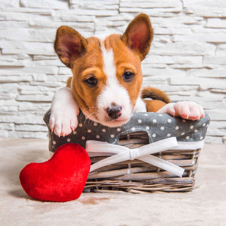 Funny red Basenji puppy dog in the basket with red heart 版權商用圖片 - 159285937
