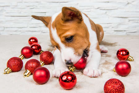 Funny Basenji puppy dog is playing with red christmas balls 版權商用圖片 - 159285941