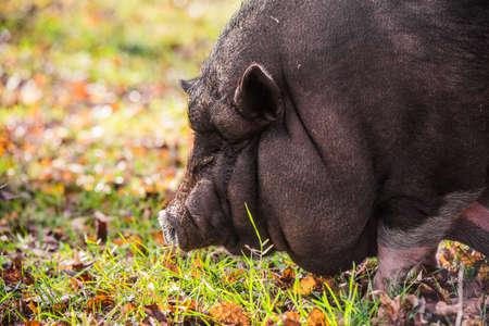 Big Vietnamese black pig close up profile portrait