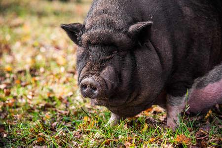 Big Vietnamese black pig close up profile portrait 版權商用圖片 - 159329836
