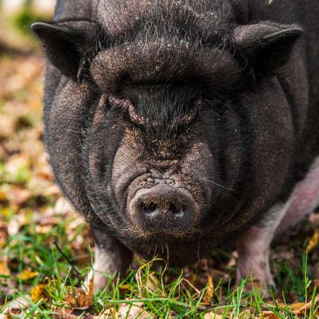 Big Vietnamese black pig close up portrait outside 版權商用圖片