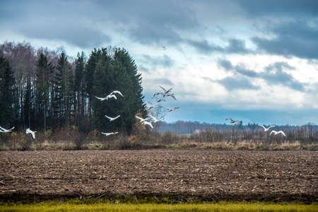 Flock of Whooper swan, Cygnus walking on field 版權商用圖片