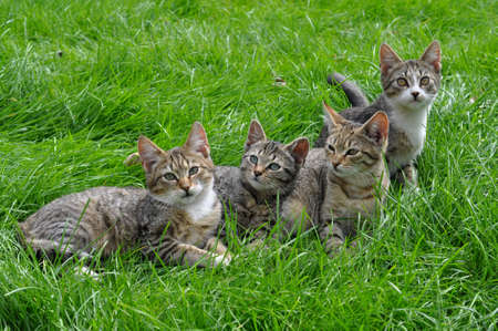 Four striped kittens sitting in the grass 版權商用圖片 - 159495011
