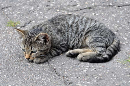 Small tabby Cat lying on the pavement road 版權商用圖片
