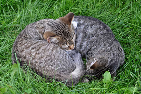 Two tabby cats are sleeping on the grass in love