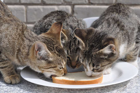 three hungry cats eating white bread and butter on the table