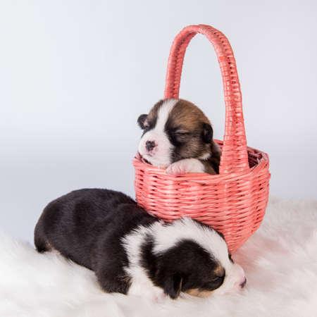 Two Pembroke Welsh Corgi puppies dogs on basket