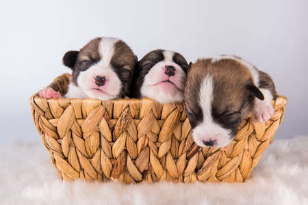 Pembroke Welsh Corgi pembroke puppies on basket 版權商用圖片 - 159546720