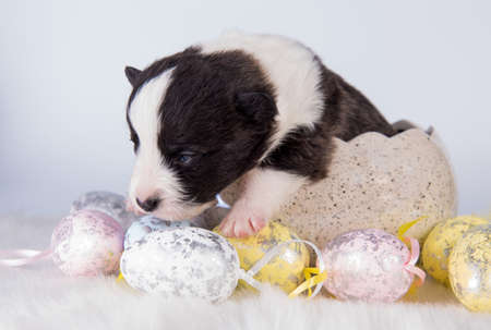 Blind Pembroke Welsh Corgi puppy in Easter egg 版權商用圖片 - 159546725