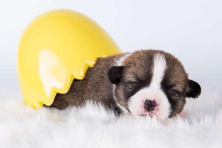 Funny Pembroke Welsh Corgi puppy in Easter egg 版權商用圖片