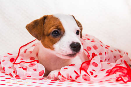 Jack Russell Terrier dog puppy on red polka dots