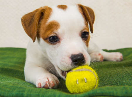 Dog Jack Russel terrier playing with tennis ball.