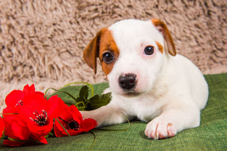 Jack Russell Terrier dog puppy and flowers 版權商用圖片