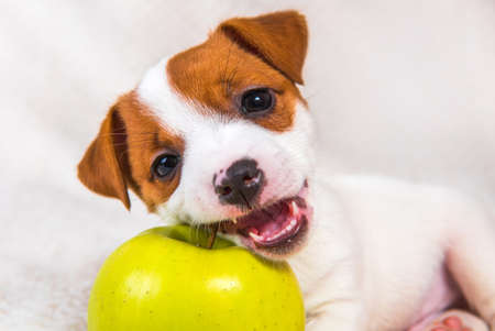 Jack Russell Terrier dog puppy and yellow apple 版權商用圖片