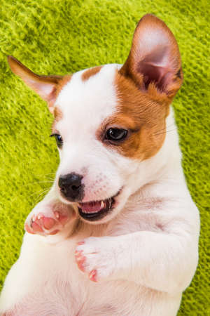Playful Jack russell terrier puppy lying on green