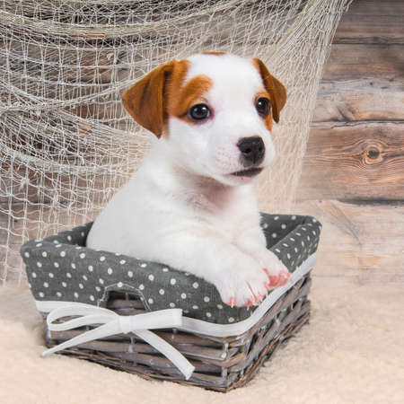 Jack Russell Terrier dog puppy in the basket