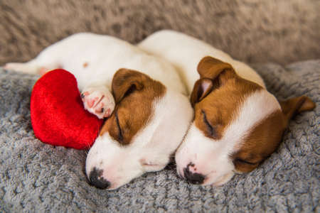 Couple of two funny in love Jack Russell Terrier puppies dogs 版權商用圖片