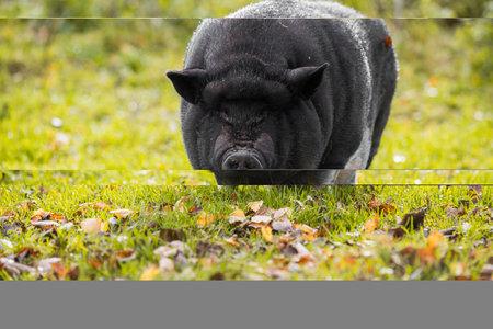 Big Vietnamese black pig portrait outside on the farm.