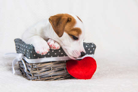 Jack Russell Terrier dog puppy with red heart 版權商用圖片