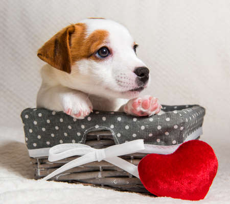 Jack Russell Terrier dog puppy with red heart