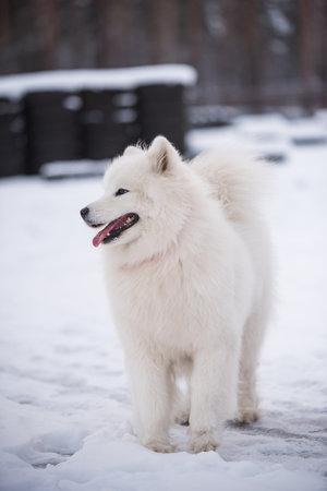 Samoyed white dog is on snow background outside